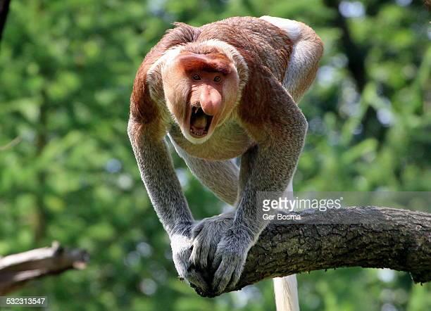 Angry Proboscis Monkey