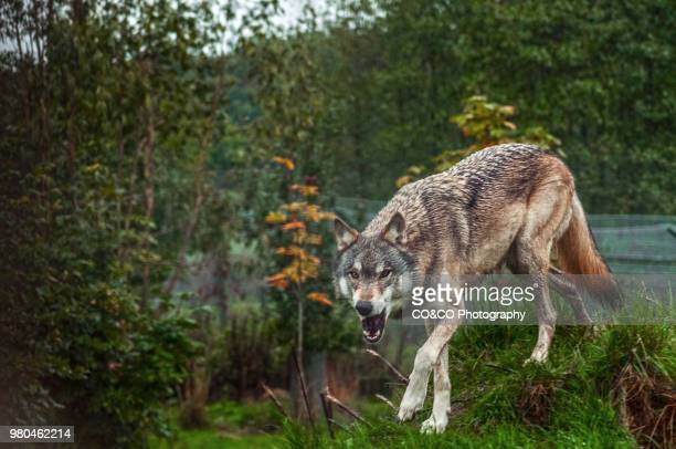 angry red wolf (canis rufus) on hill, berkshire, england - red wolf stock photos and pictures