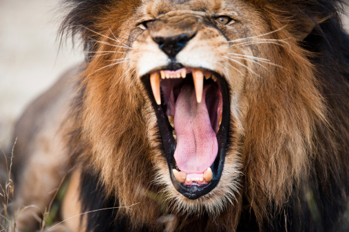 Angry roaring lion 157038508