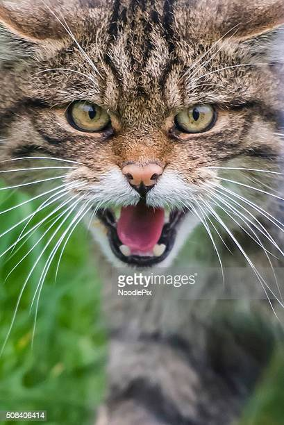 A angry Scottish Wildcat