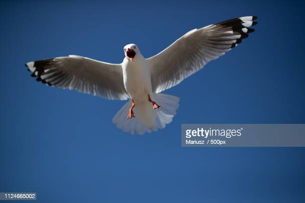 angry seagull - spread wings stock pictures, royalty-free photos & images