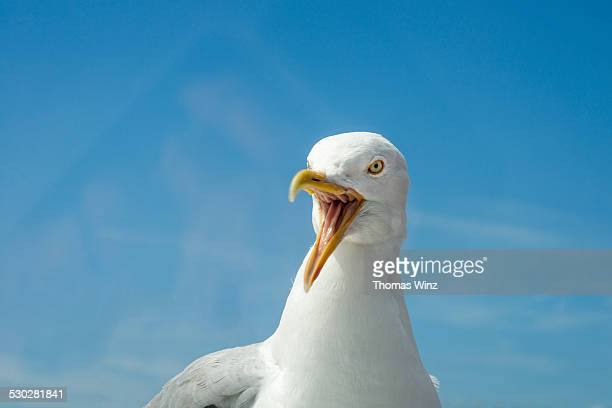 angry seagull - seagull stock pictures, royalty-free photos & images