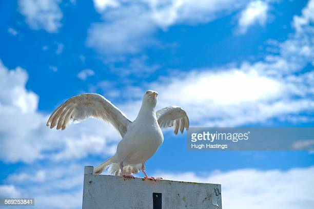 angry seagull - hugh hastings stock pictures, royalty-free photos & images