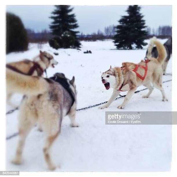 Angry Sled Dogs On Field During Snow