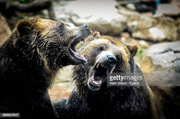 Angry Wet Grizzly Bears Against Rocks