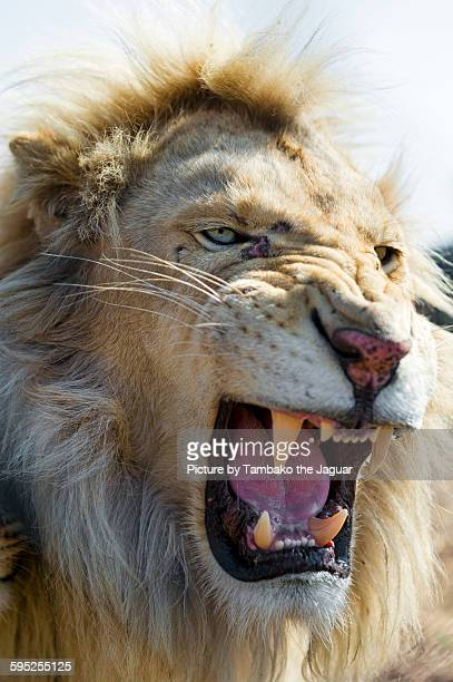 angry white lion - white lion - fotografias e filmes do acervo