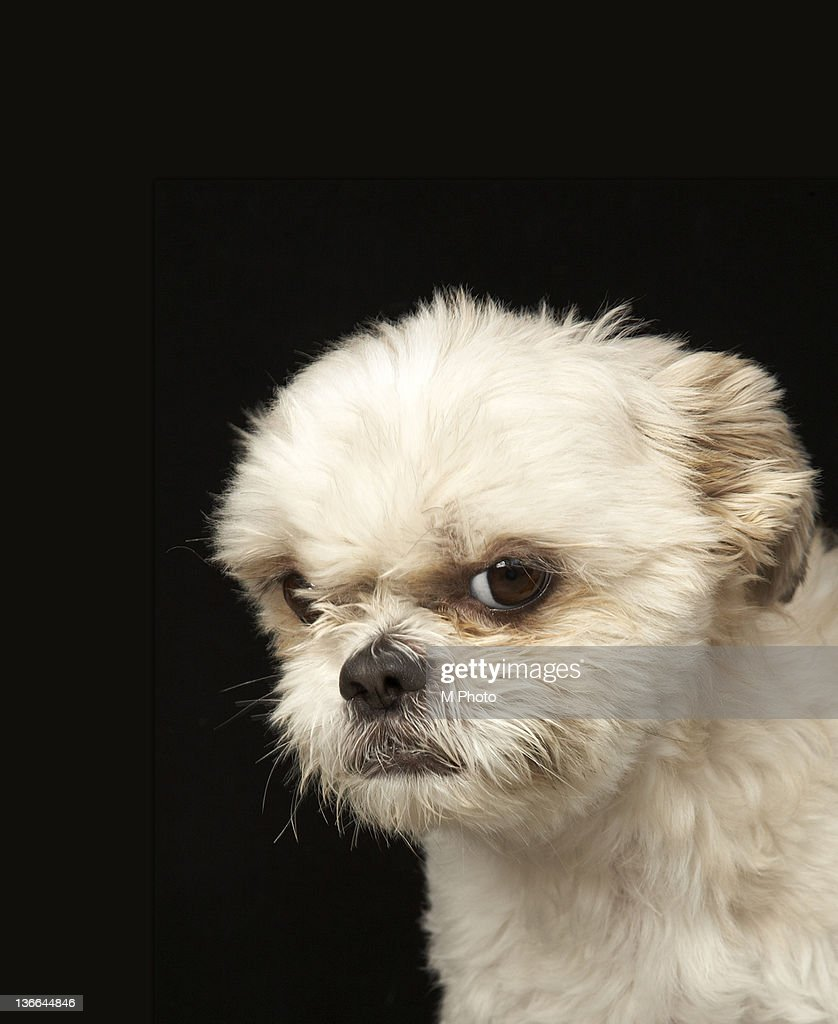 Angry White Shih Tzu With Brown Eyes Stock Photo Getty Images
