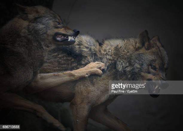 angry wolves on field - fang stock pictures, royalty-free photos & images