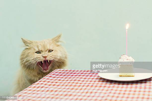 angry-looking cat - funny birthday stock photos and pictures