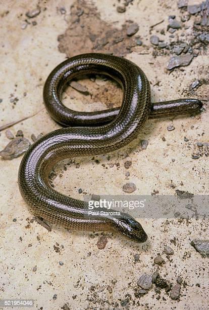 Anguis fragilis (Slow Worm) - male