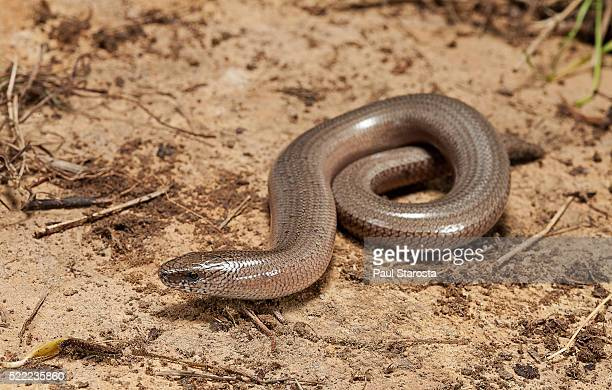 Anguis fragilis (Slow Worm)