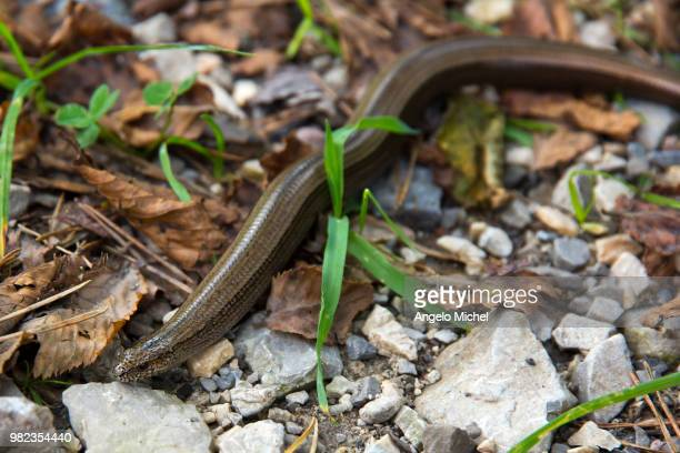 anguis fragilis (slowworm) - squamata stock photos and pictures