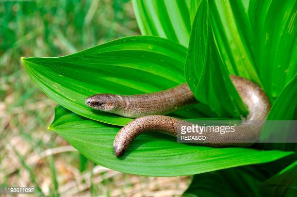 Anguis fragilis. Slow worm male.