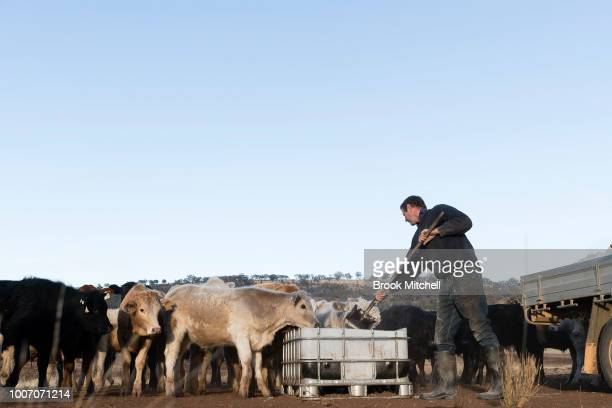 Angus Attkinson works on his farm feeding hungry cattle a mix of cottion seeds and hay In the Central Western region of New South Wales Australia...
