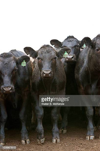 Angus cattle in Sonoma County, CA.