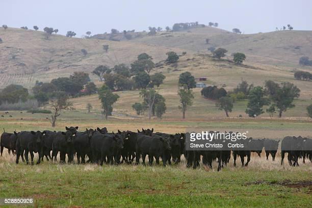 Angus Cattle on a farm in Wagga Wagga Sydney Australia Wednesday 26th March 2014