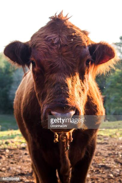 Angus Cattle.