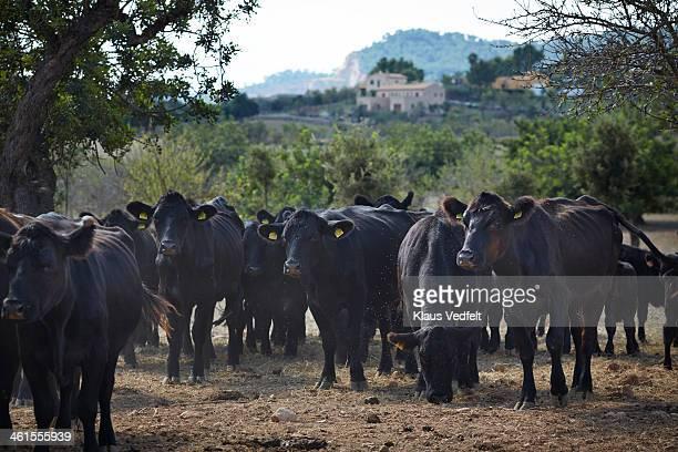 Angus free range cattle on organic farm