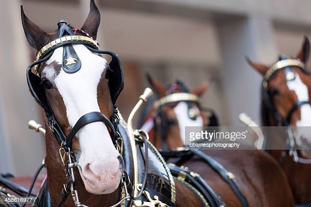 Anheuser-Busch beer wagon clydesdales