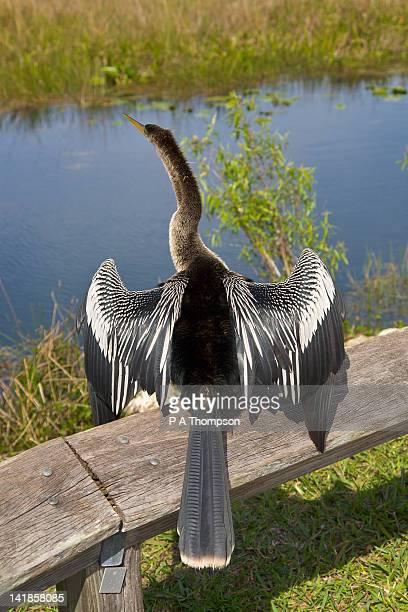 anhinga, anhinga trail, everglades, florida, usa - anhinga_trail stock pictures, royalty-free photos & images