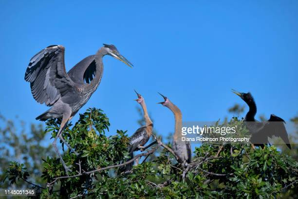 anhinga chicks and their mother fiercely defend their nest against a great blue heron at venice rookery, venice, florida - rookery stock pictures, royalty-free photos & images