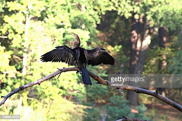 anhinga - drying out - zeesstof stock pictures, royalty-free photos & images