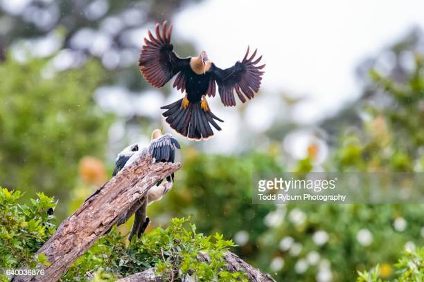 anhinga landing - rookery stock pictures, royalty-free photos & images