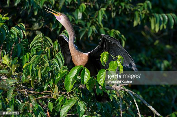 Anhinga perched in a tree and spreading its wings along the Pixaim River in the northern Pantanal Mato Grosso province of Brazil