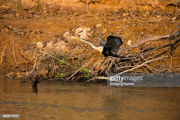 Anhinga roosting in a tree at a tributary of the Cuiaba River near Porto Jofre in the northern Pantanal, Mato Grosso province in Brazil.
