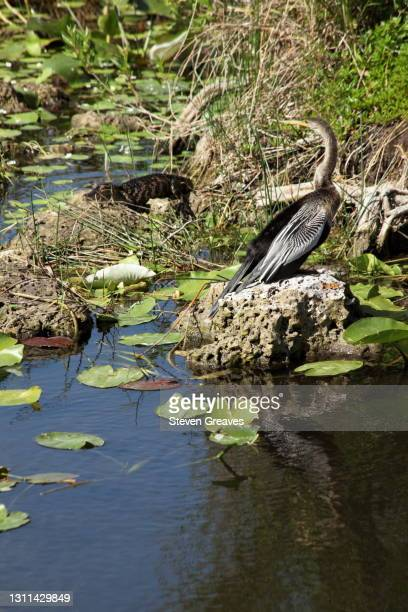 anhinga with alligator - anhinga_trail stock pictures, royalty-free photos & images