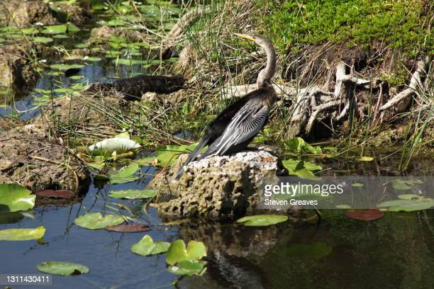 anhinga with alligator - anhinga_trail 個照片及圖片檔