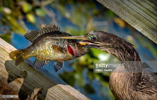anhinga with speared fish - sunfish stock pictures, royalty-free photos & images