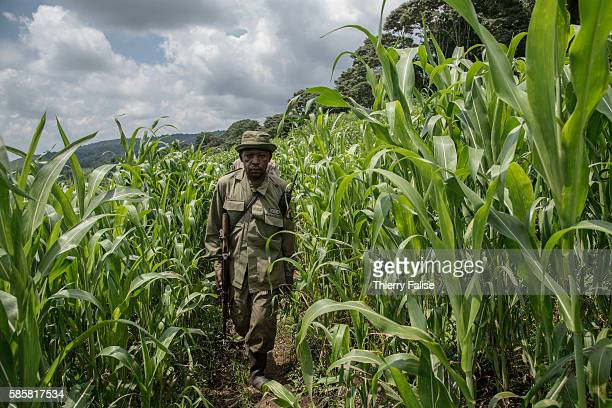 Anicet Mughisa a ranger walks in a field on his way to mountain gorillas The Virunga park created in 1925 under the name of Albert National Park has...