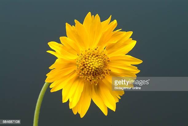 Anil de Muerte Verbesina fasciculata american medicinal plant