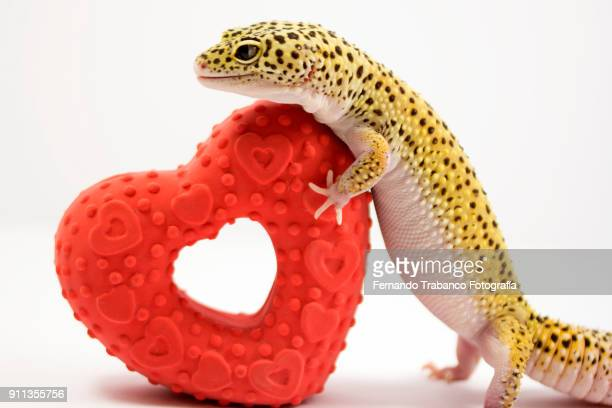 animal and red heart - animal internal organ stock photos and pictures