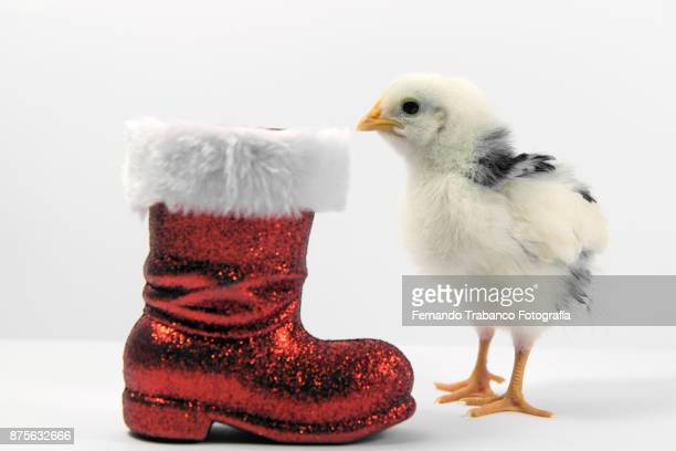 animal at christmas - funny rooster stock photos and pictures