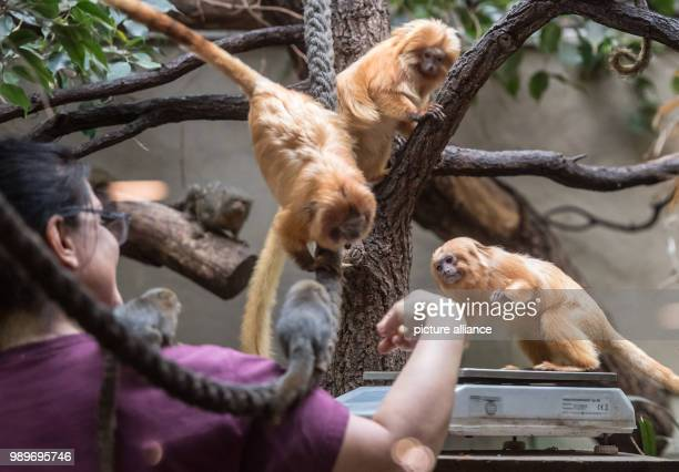 Animal caretaker Sabine Haans weighs lion tamarins and pygmy marmoset monkey during inventory at the Allwetterzoo in Muenster Germany 5 January...