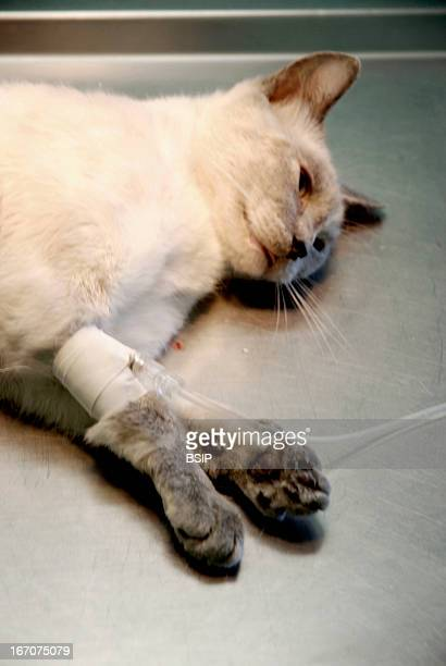 Animal castration Female cat as sleep under anesthesia with a drip on the paw before the ovariohysterectomy La Crau Veterinary clinic in Saint Martin...