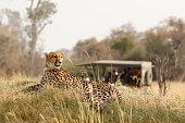 Animal cheetah wildlife safari drive savanna nature cat Africa grass