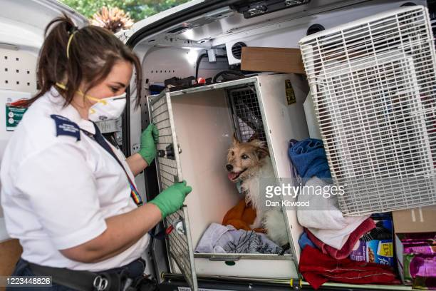 Animal Collection Officer Kirstie Gillard collects a Terrier named named Jeff whose owner had died the previous day on May 07 2020 in London England...