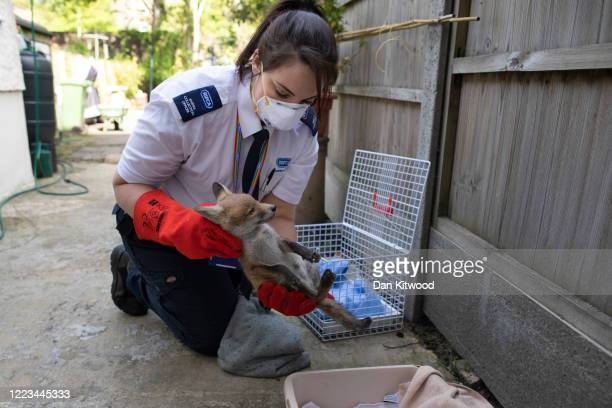 Animal Collection Officer Kirstie Gillard examines a baby Fox that had been found to be struggling in a garden on May 07 2020 in London England The...