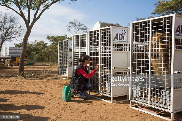 Animal Defenders International worker Yani Mateus sits besides a cage of one of the 33 Lions ahead of it's release into it's new enclosure at the...