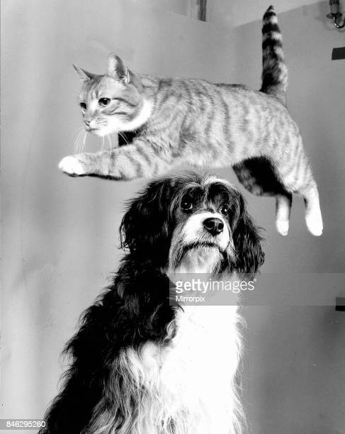 Animal Dog and Cat September 1987 A tabby cat jumping over the head of an unimpressed dog
