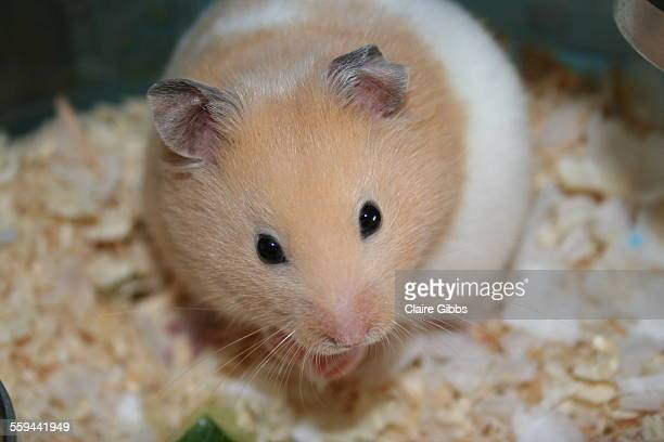 animal eye contact - golden hamster stock pictures, royalty-free photos & images