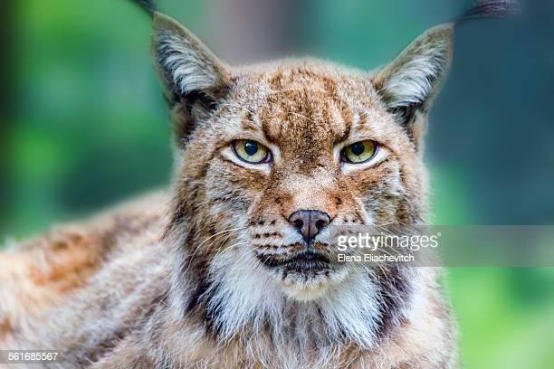 animal eye contact - lynx stock photos and pictures