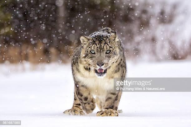 animal eye contact - leopardo delle nevi foto e immagini stock