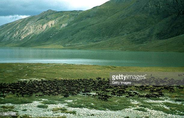 Animal graze in the Arctic National Wildlife Refuge in Alaskain in this undated photo The Bush administration''s controversial plan to open the...