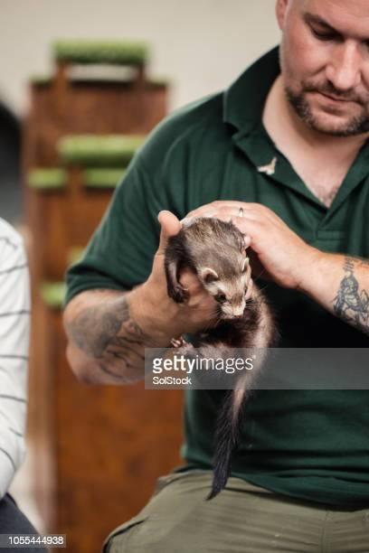 Animal Handler Holding a Polecat Ferret