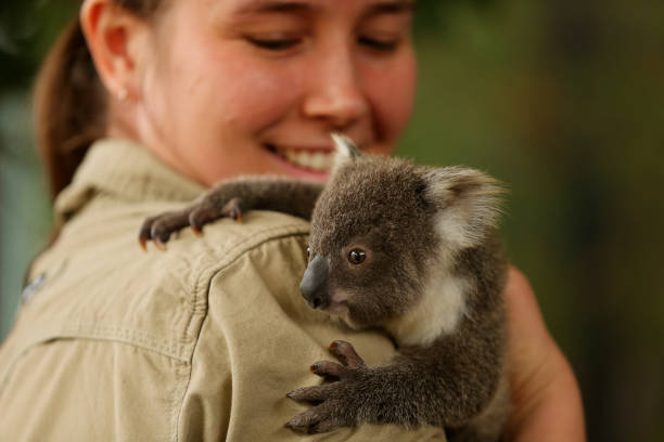AUS: WILD LIFE Sydney Zoo Hosts Naming Party For Newest Koala Joey