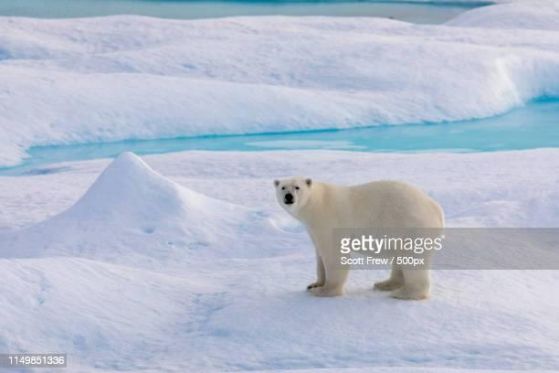 animal image - 北極 ストックフォトと画像